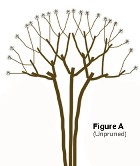 drawing of a crape myrtle prior to pruning