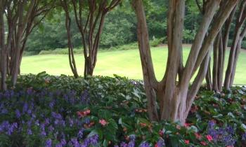 crepe myrtles residential planting