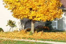yellow fall leaves on a lawn beside a house.